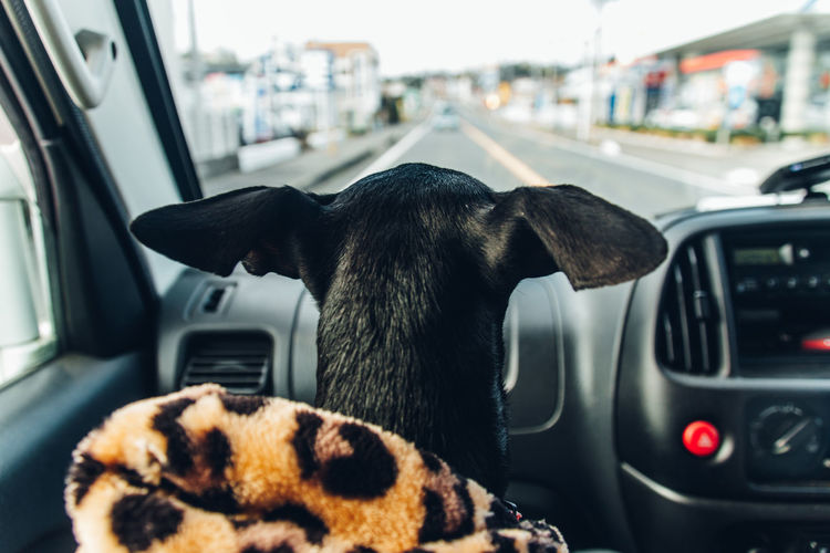 Close-up of a dog in car