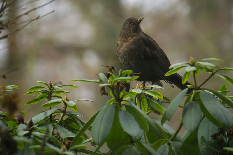Bird Vertebrate Animal Themes Animal Animal Wildlife Animals In The Wild Plant One Animal Perching Plant Part Leaf No People Day Tree Nature Growth Outdoors Close-up Branch Focus On Foreground Blackbird