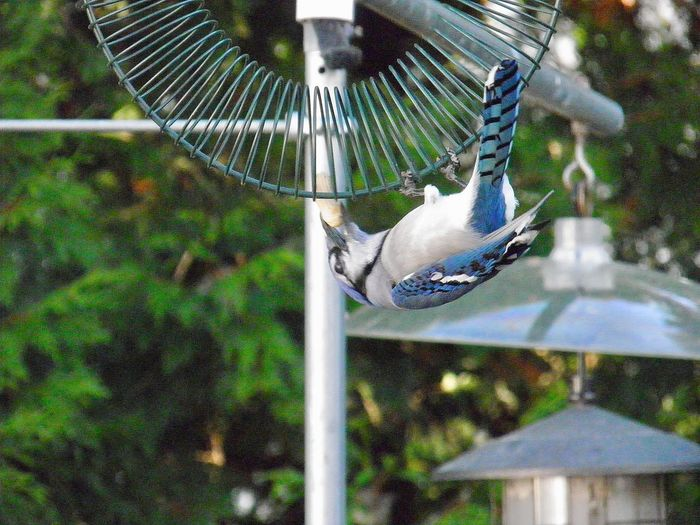 Upside down blue jay at the feeder animal themes outdoors beauty in nature No People