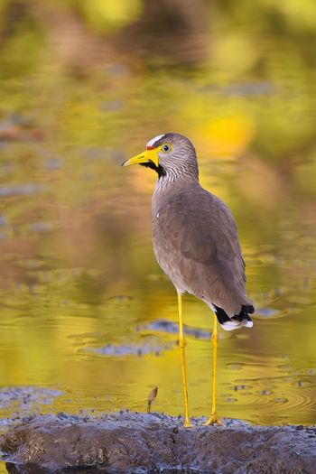 African wattled lapwing EyeEm Selects Bird Animal Wildlife One Animal Animals In The Wild Perching Reflection Outdoors Water Animal Themes Nature No People Multi Colored Full Length Day Close-up
