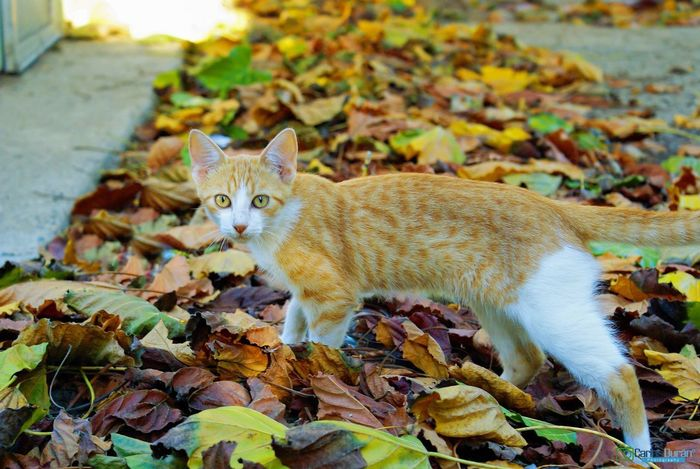 Caminando entre las ojas Leaf Domestic Cat Autumn Domestic Animals One Animal Change Pets Animal Themes Feline Nature Mammal No People Day Beauty In Nature Portrait EyeEmNewHere EyeEmNewHere