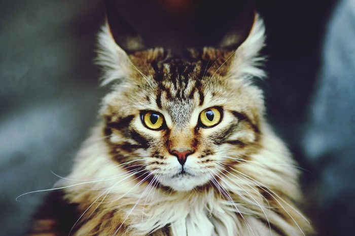 My I Might Be Just A Dreamer & Believer , But One Day I'll Be So Much More  Dreamer Mainecoon