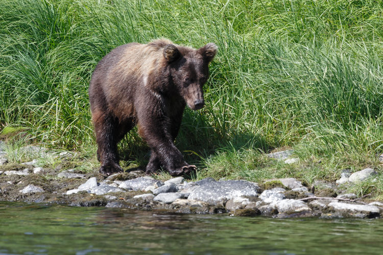 Wildlife of Kamchatka Peninsula: young Kamchatka brown bear walks along in the natural habitat - on the river bank on a sunny day. Russian Far East, Kamchatka Region, Eurasia. Hunter Kamchatka Krai Natural Wild Animal Animal Animal Themes Animal Wildlife Animals In The Wild Bear Fauna Forest Grizzly Bear Kamchatka Kamchatka Brown Bear Kamchatka Peninsula Landscape Mammal Mammal In Nature Nature One Animal Outdoors Predator Predatory Wild Nature Wildlife