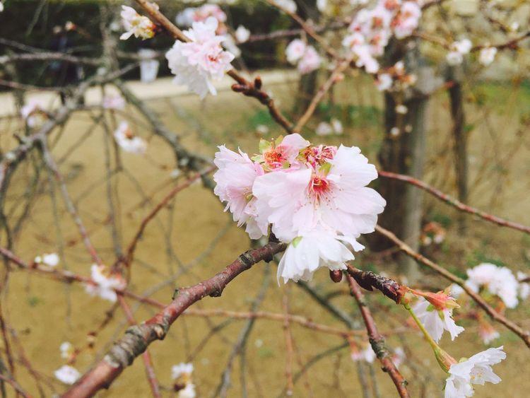 10月桜 桜