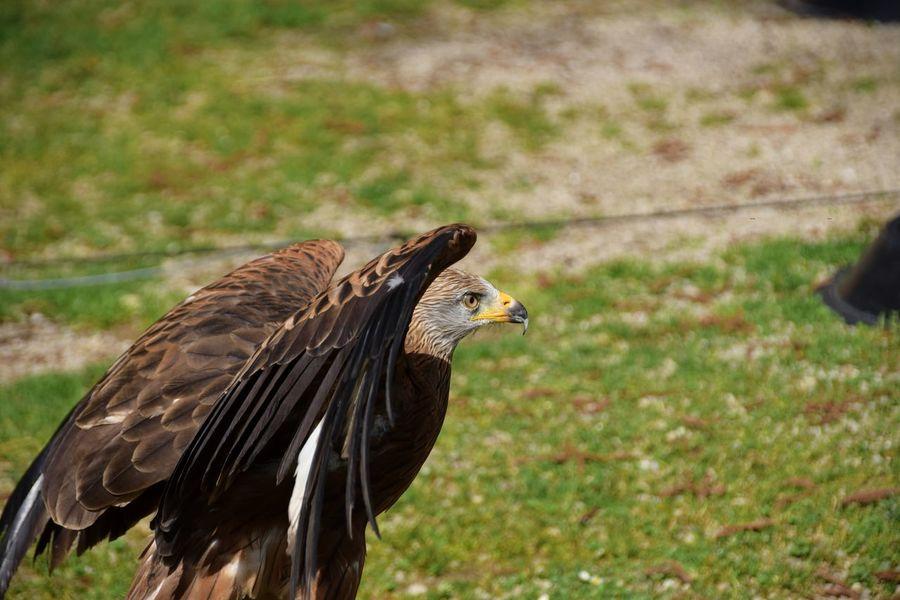 by Jacqueline Muhlack Germany Photography Hobbyfotograf Photographer Fotografie Fotografieren Deutschland Nikon Nikonphotography Greifvogel Bird Birds Vogel Rheinböllen Wildpark