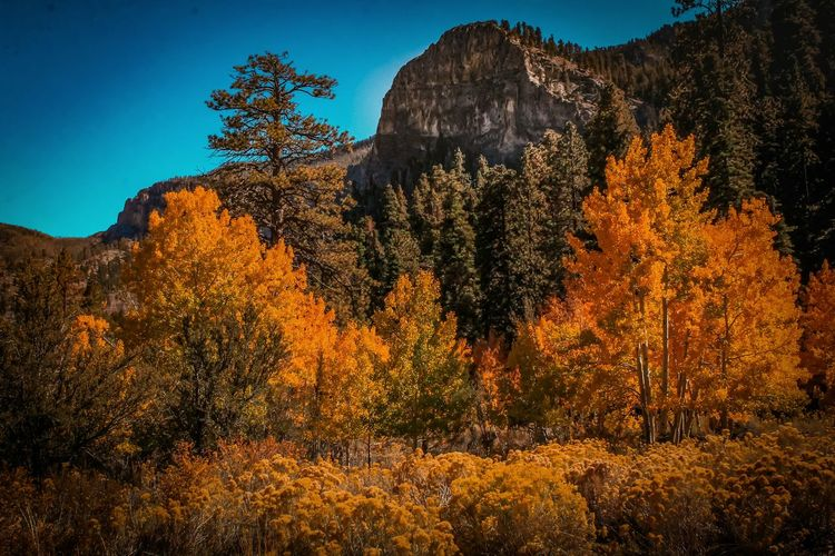 Tree Nature Pine Tree Pinaceae Landscape Beauty In Nature No People Scenics Mountain Outdoors Forest Tree Area Sky Day Lost In The Landscape Autumn🍁🍁🍁 Vegas  Nevada Mt Charleston Freshness Backgrounds Change