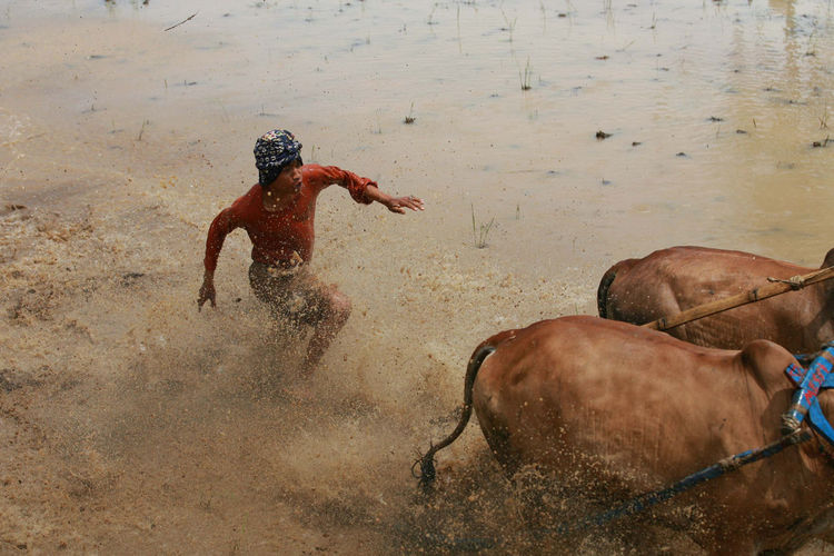 Local Gather Cow Race Pacu Jawi' in West Sumatra - Photo Story Beauty In Nature Day Lifestyles Mammal Nature Outdoors Pacu Jawi Running The Photojournalist - 2016 EyeEm Awards