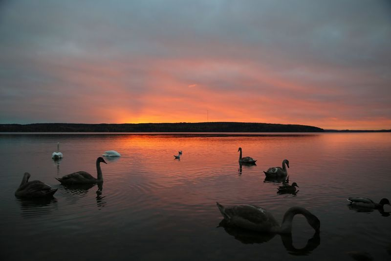 Swans swimming in lake against cloudy sky during sunset