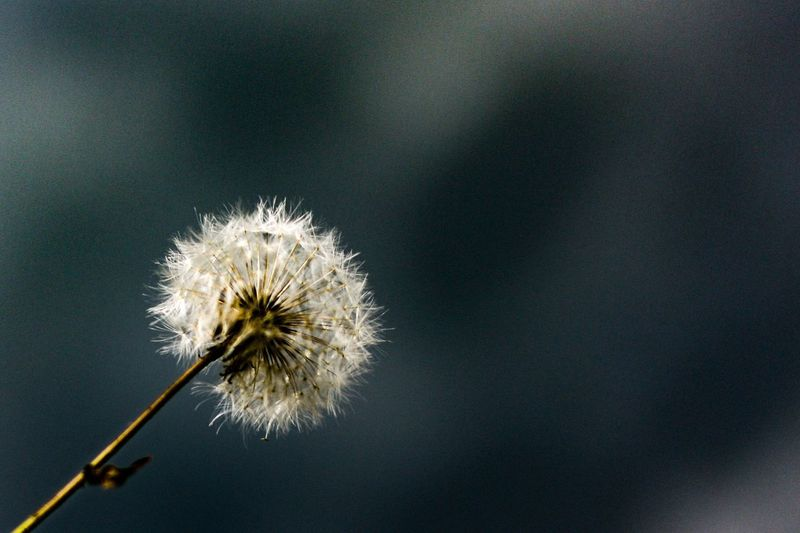 Esprimi un desiderio EyeEm Selects Flower Dandelion Vulnerability  Flowering Plant Fragility Plant No People Growth Plant Stem Freshness Flower Head Focus On Foreground Close-up Dandelion Seed Beauty In Nature Copy Space Softness Nature Day Outdoors