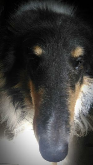 My Tri collie Braedyn. Animal Nose No People Curiosity Domestic Animals Animal Head  Close-up Pets Snout Extreme Close Up Focus On Foreground Animal Themes Animal Collie Rough Collie Collie Dog Dog Dog Nose Dog Nose Best Dog Snout Long Face Long Nose Tri Color