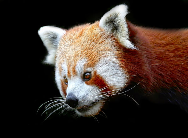 Red Panda, a beautiful animal Animal Animal Themes One Animal Mammal Animal Wildlife Red Panda Vertebrate Animals In The Wild Close-up Black Background Animal Body Part No People Animal Head  Whisker Focus On Foreground Studio Shot Looking Away Looking Portrait Outdoors Animal Eye