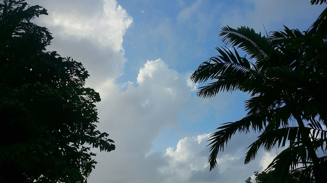 tree, low angle view, sky, nature, cloud - sky, palm tree, beauty in nature, day, growth, scenics, no people, outdoors, tranquility, leaf, silhouette, branch