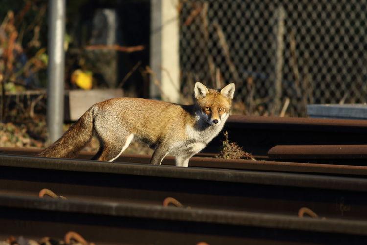 Fox Fox🐺 Foxes Red Fox Railway Chingford Depot Chingford Station Railway Nature