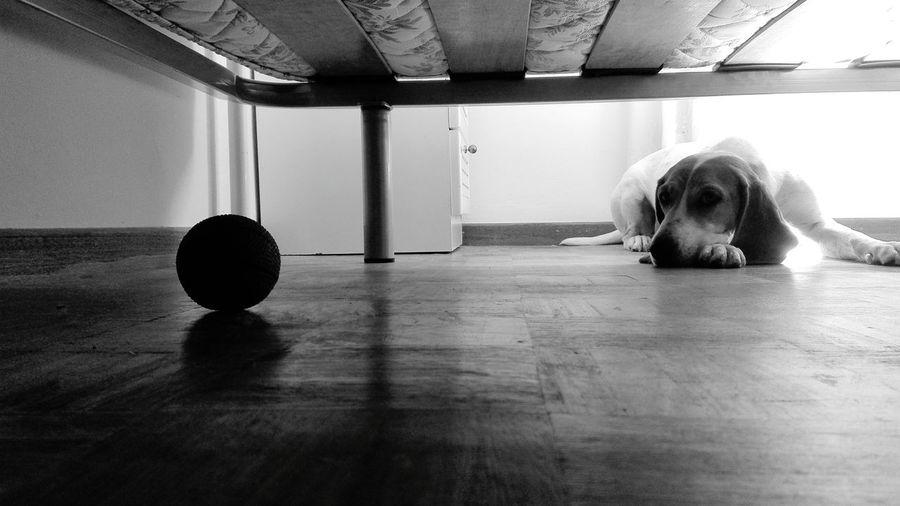 Sad Indoors  Hardwood Floor Home Interior No People Pets Day Mammal no Give Up Fight Objetivo De Vida💪👌✌👍💉⛅🏥♐‼ Life Pet Portraits