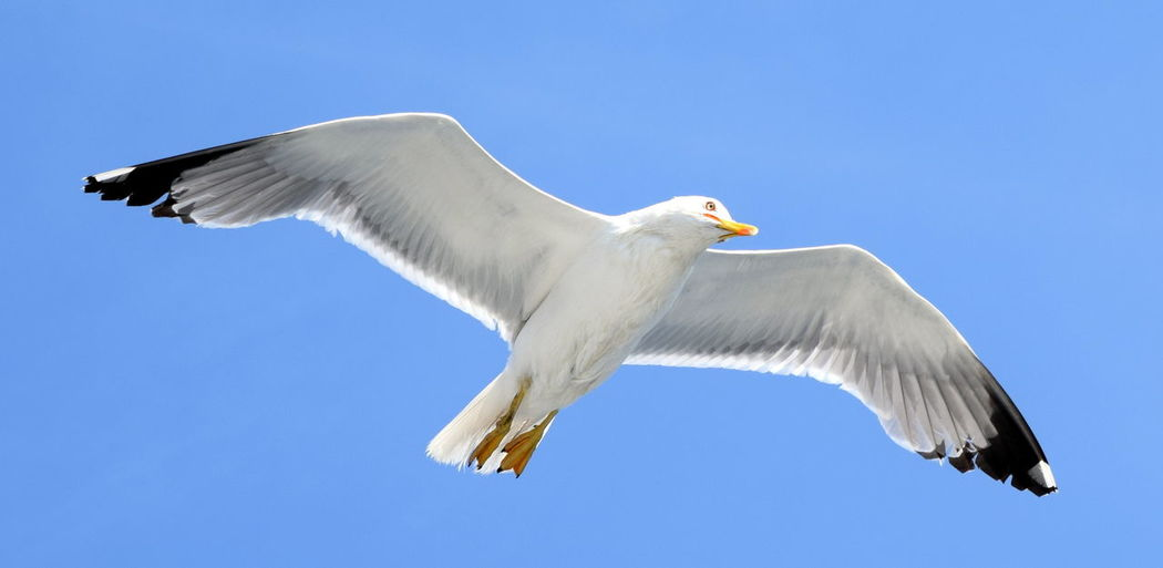 Animal Themes Bird Clear Sky Flight Flying Low Angle View One Animal Seagull Spread Wings