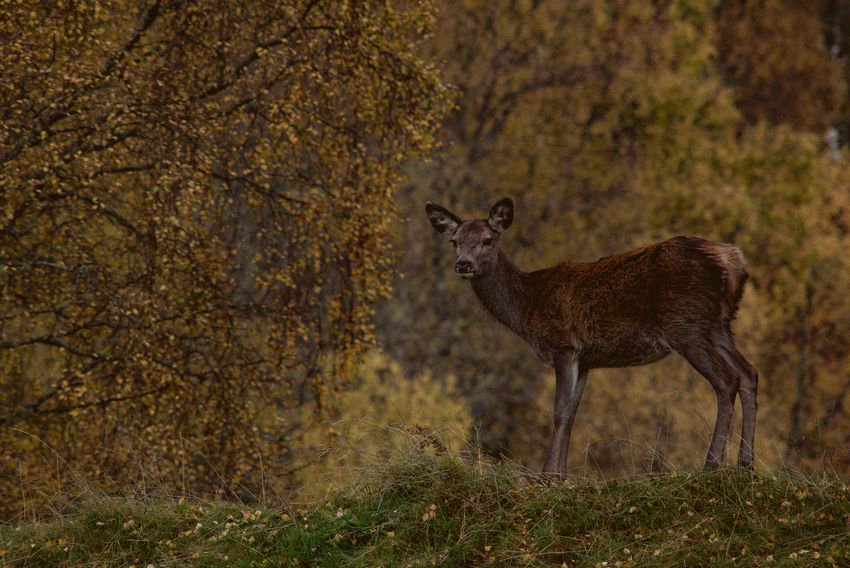 Autumn Deer Scottish Animal Themes Animal Wildlife Animals In The Wild Day Deer Mammal Nature No People One Animal Outdoors Scottish Highlands Sika Deer Standing