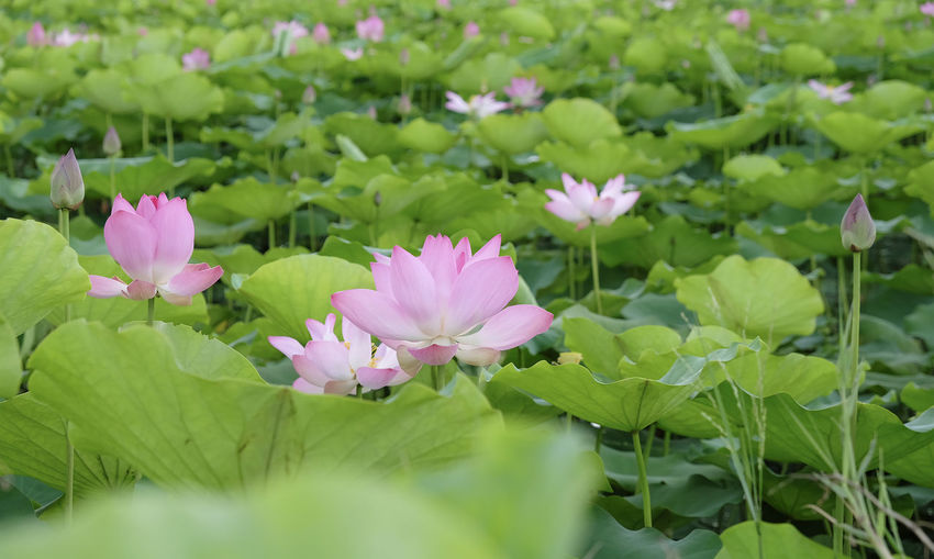 ZEN Flower Flowering Plant Plant Vulnerability  Fragility Beauty In Nature Freshness Petal Growth Leaf Pink Color Green Color Plant Part Close-up Inflorescence Flower Head Nature No People Selective Focus Day Outdoors Springtime Lotus Water Lily Softness Lotus