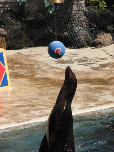 One Animal Seal Playing Basketball Water