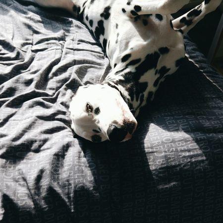 Snowflakethedalmatian Capture The Moment Dalmatiansofinstagram Dalmatianpuppy Puppies PuppyLove Vscgood Vscocam VSCO LGG4