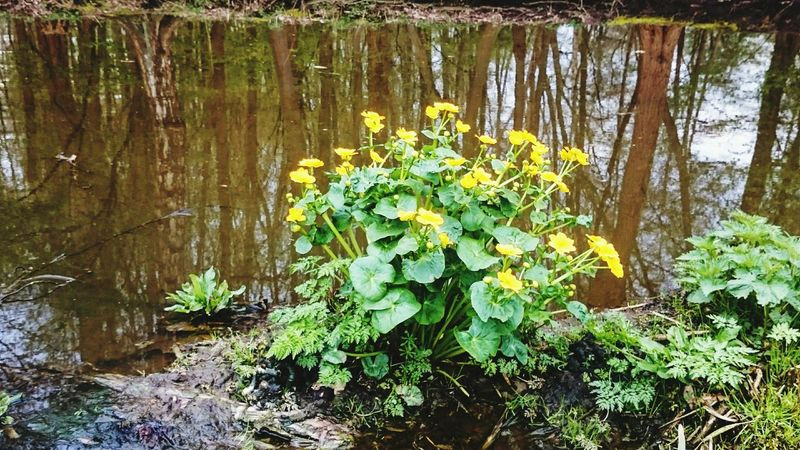 marsh marigold kingcup yellow swamp flowers Marsh Marigold City Cowslip Springtime Spring Flowers No People Nature Middow Bright Flower Head Water Yellow Tree Leaf Close-up Plant Green Color Blooming Botany In Bloom Growing Wildflower Plant Life Uncultivated