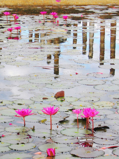 Architecture Built Structure Day Floating On Water Flower Fragility Leaf Lotus Water Lily Nature Outdoors Petal Pink Pink Color Reflection Tailandia. Water Water Lily