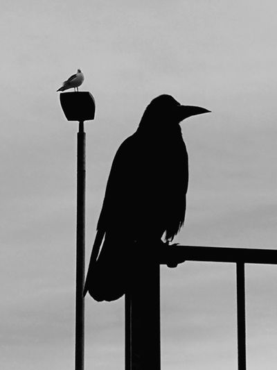 Monochrome Urban Birds Bird Perching Raven - Bird Full Length Silhouette Oil Pump City Sky Cockatoo Crow Beak Vulture Black Color Hawk - Bird Eagle Eagle - Bird Exotic Pets