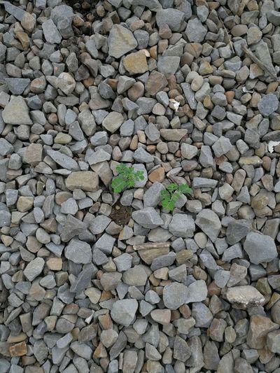 Rocks Plants