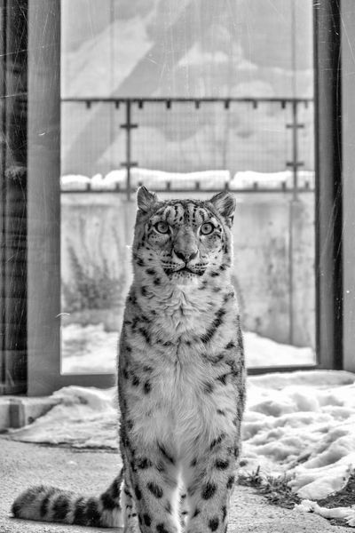 Snow leopard Day Indoors  Close-up Nature Mammal Leopard Cat Bigcats Bigcatphotography Zoopark Endangered Species Animal Wildlife Japan