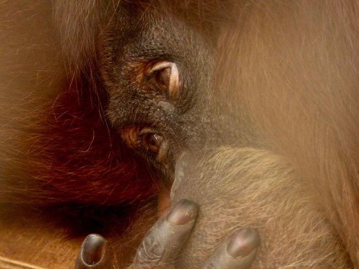 One Animal Animal Themes Zoo Primate Orangutan EyeEmNewHere Animal Face Animal Portrait