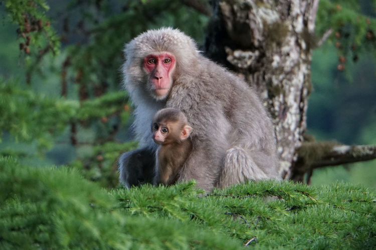 Portrait Of Monkey With Infant Relaxing On Tree