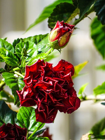ezefer Beauty In Nature Close-up Day Flower Flower Head Focus On Foreground Fragility Freshness Green Color Growth Hibiscus Leaf Nature No People Outdoors Petal Plant Red Rose - Flower The Street Photographer - 2017 EyeEm Awards