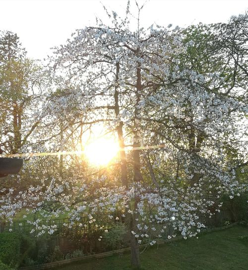 Gloriously balmy evening Balmy Evening Cherry Blossoms NewhereEyeem Tree Branch Sunlight Sun Sunset Sunbeam Lens Flare Sky Grass
