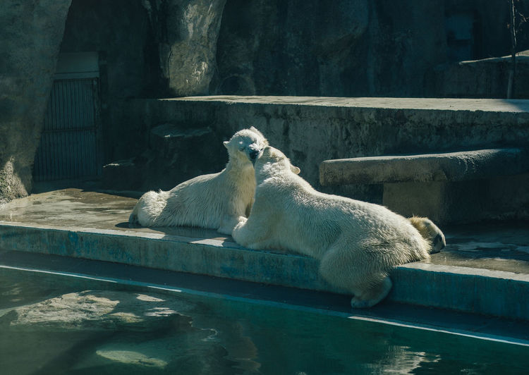 Camera - Canon 550D -Lens - 50 mm f/1.8 Blog : https://www.instagram.com/david_sarkisov_photography/ Animal Themes Animal Mammal Animal Wildlife Zoo Animals In The Wild Nature Vertebrate Day No People Water Animals In Captivity Group Of Animals Relaxation Outdoors Bear Polar Bear Sunlight