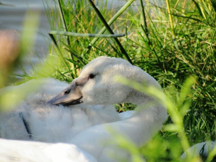 EyeEm Selects Swan Cygnet Summer Animals In The Wild Sleeping One Animal Animal Wildlife Animal Themes Nature Day Water No People Outdoors Close-up Swimming Grass Bird