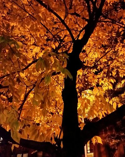 Autumn Glow Nightphotography Night Autumn Autumn Leaves Autumn🍁🍁🍁 Tree Trees TreePorn Tree_collection  Fall Fall Colors Nightlight Lookup Check This Out Changing Seasons