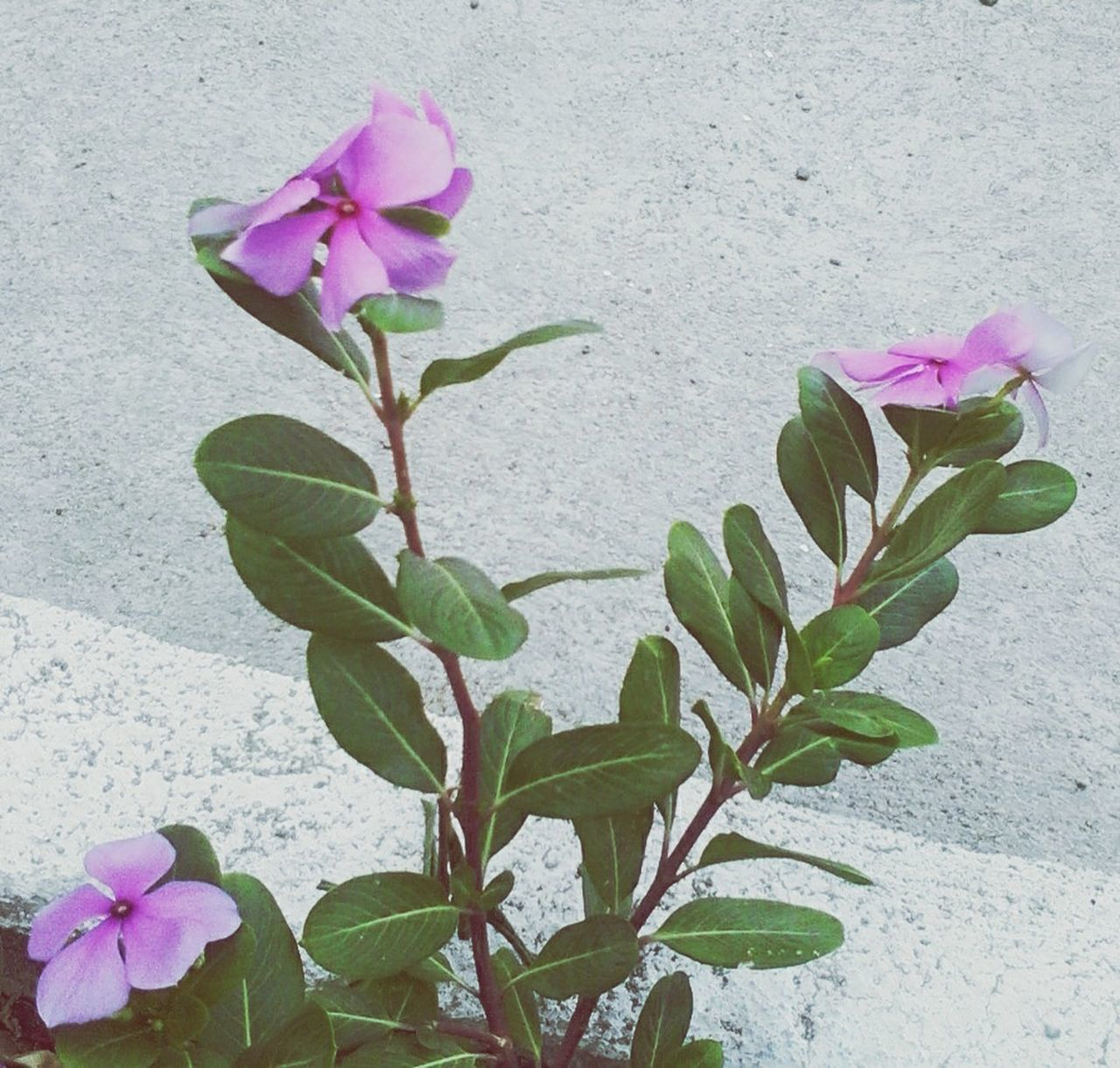 flower, petal, pink color, fragility, growth, nature, leaf, beauty in nature, freshness, flower head, purple, plant, blooming, periwinkle, no people, bougainvillea, close-up, day, outdoors
