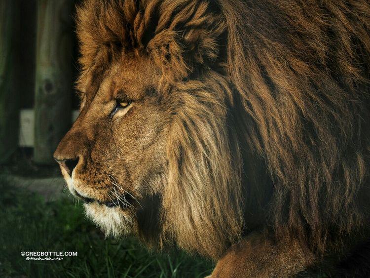 lion roaring Wingham Wildlife Park The Lion King Wildlife Photographing Wildlife