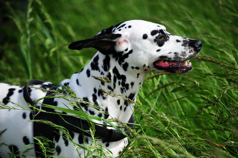 Side View Of Dalmatian Sitting On Grassy Field