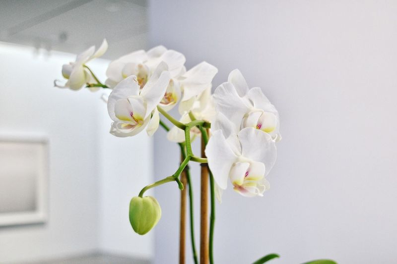 Close-Up Of White Orchids At Home