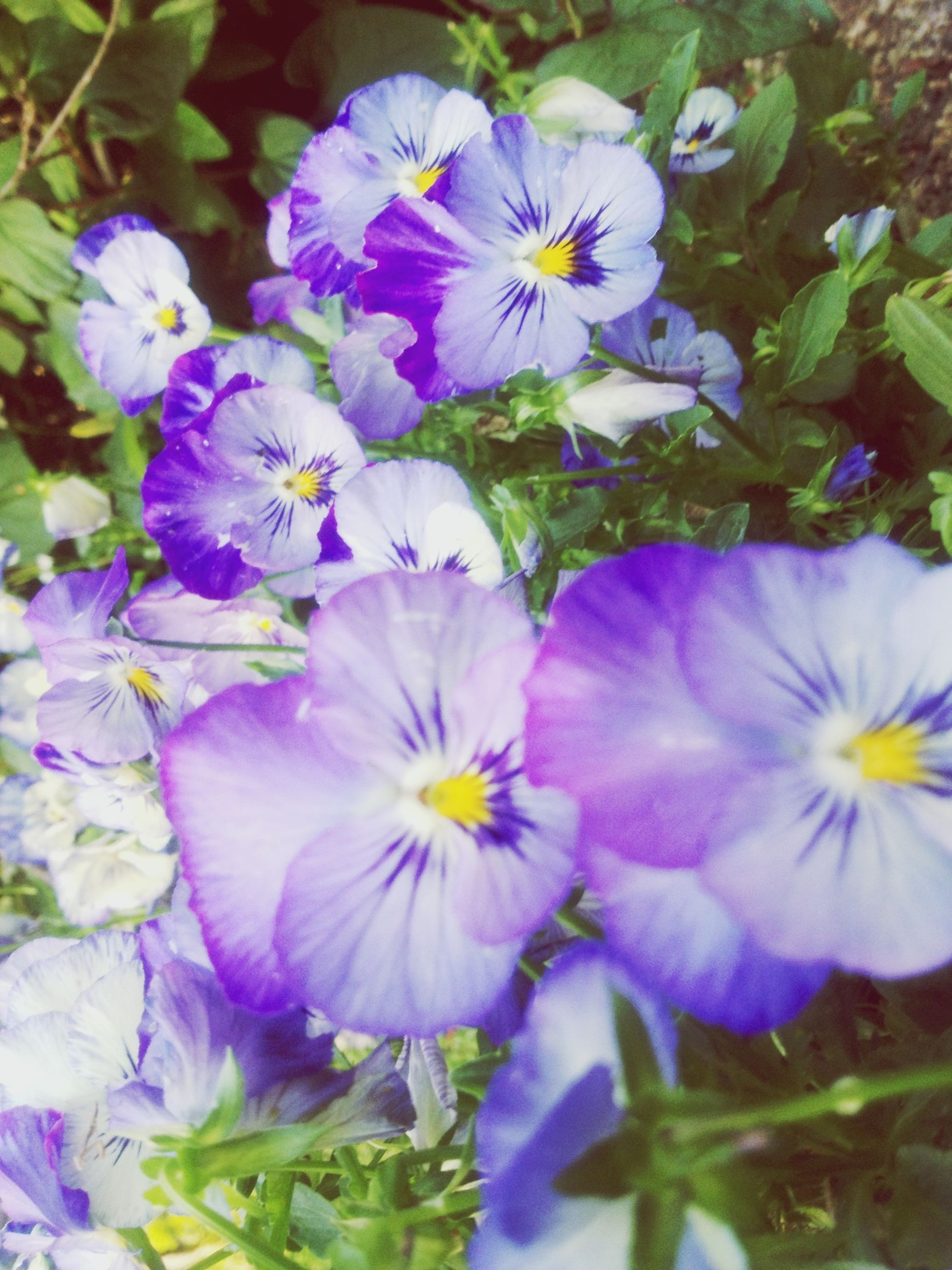 flower, freshness, petal, fragility, purple, growth, flower head, beauty in nature, blooming, high angle view, plant, nature, in bloom, close-up, blue, blossom, leaf, springtime, day, outdoors