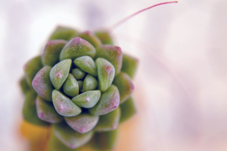 Close up of a small succulent plant. Close-up Freshness Focus On Foreground Wellbeing Green Color Plant No People Studio Shot Nature Growth Soft Focus Selective Focus Day Succulent Plant Succulent