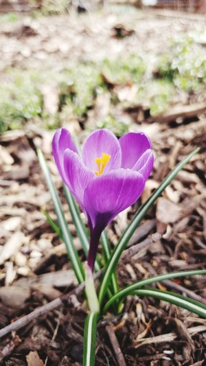 Happy first day of spring, my friends. Just happened upon this little guy on my walk into work. Crocus Flower Head Flower Petal Purple Field Pink Color Close-up Blooming Plant Purple Color Plant Life In Bloom Bud Sepal Pollen Stem Blossom Botany Stamen