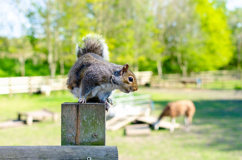 Close-up of squirrel on wooden post