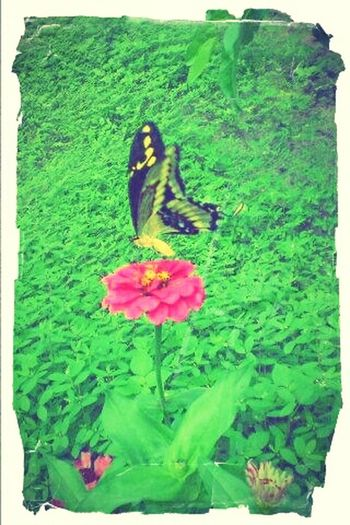 Butterfly Green Green Green!  EyeEm Nature Lover BorboletaÉFlor Flower Pink Potography BORBOLETA Natureza 🐦🌳