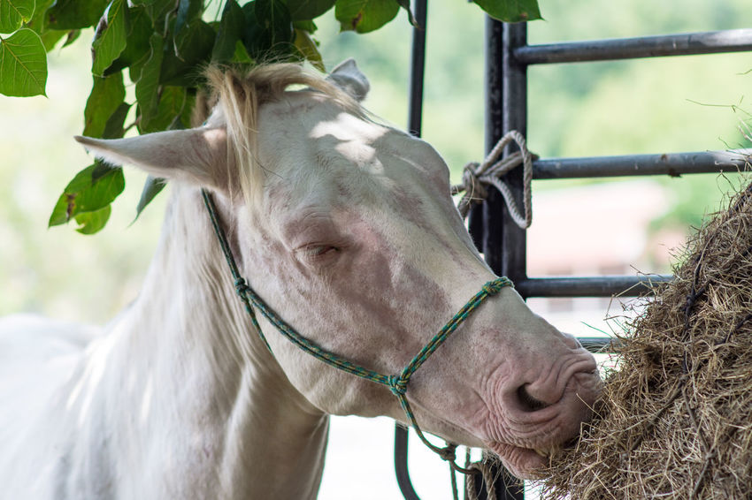 White horse White Horse White Horse Portrait White Horse Is Eat Livestock Animal Domestic Animals One Animal Vertebrate Animal Body Part Focus On Foreground Herbivorous Animal Head  Ranch Nature Outdoors No People Close-up Pets Horse