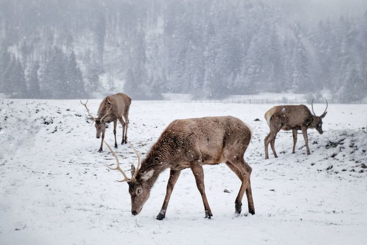 Oh deer EyeEm Best Shots EyeEmNewHere Cold Temperature Snow Winter Animal Wildlife Animals In The Wild Nature Outdoors Antler Snowing Frozen No People Animal Themes Day Beauty In Nature Mammal Reindeer Moose Landscape