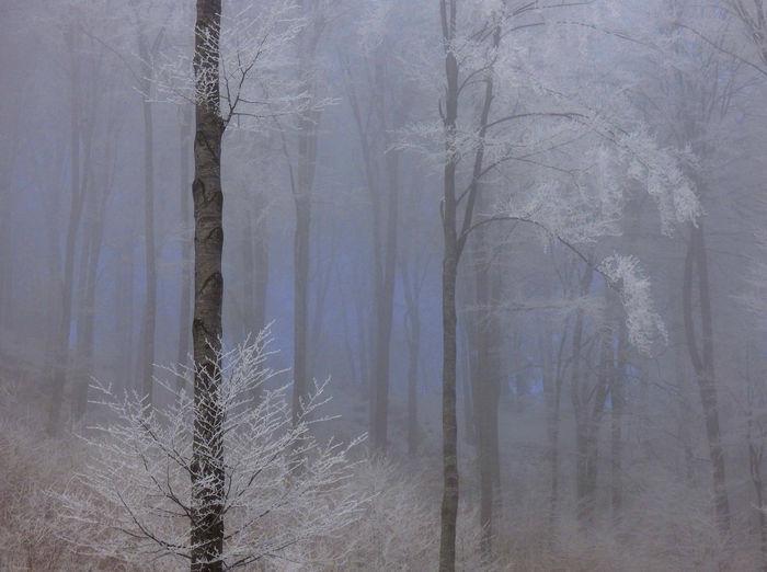 Blue Winter misty forest EyeEmNewHere Frost Winter Blues Blue Mood Foggy Trees Frozen Trees, Misty Forest Misty Trees Winter