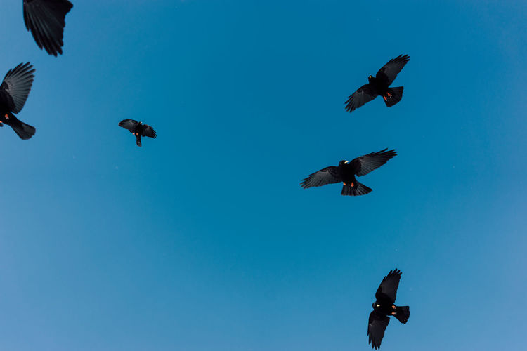 Low angle view of jackdaws flying in mid-air against clear blue sky