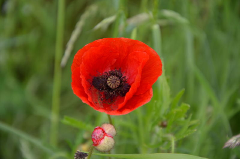 Close-up of red poppy blooming in field