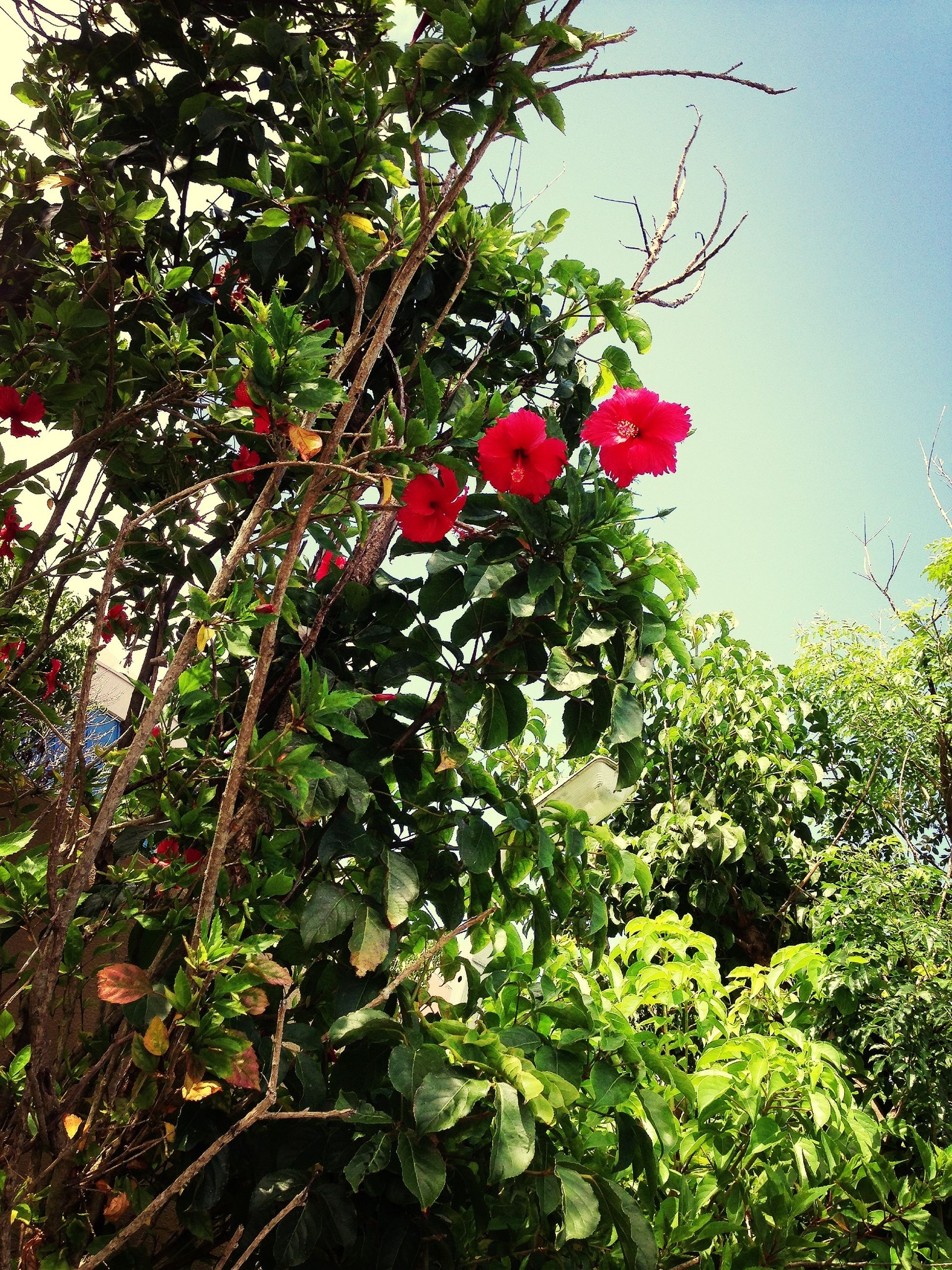 growth, tree, red, freshness, branch, fruit, leaf, low angle view, nature, green color, plant, growing, beauty in nature, food and drink, clear sky, day, flower, outdoors, sunlight, no people